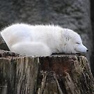 Arctic Fox by Susan Vinson