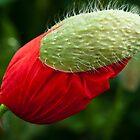 Poppy with a hat by Karen Havenaar