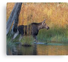 Maine Moose in the water Canvas Print