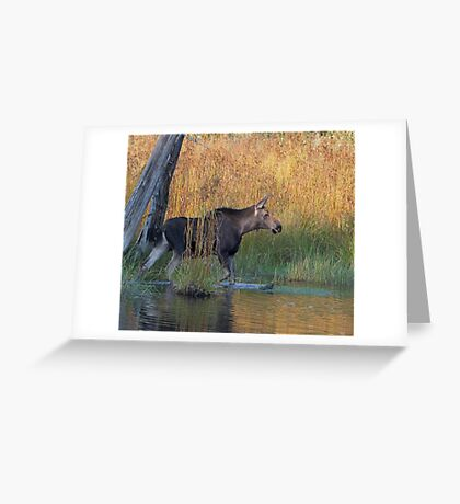 Maine Moose in the water Greeting Card