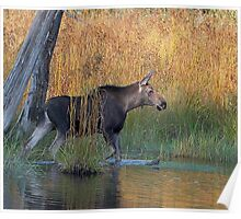 Maine Moose in the water Poster