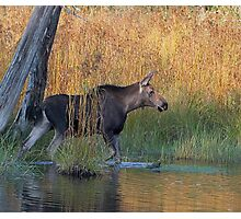 Maine Moose in the water Photographic Print