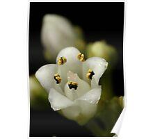 Minute little Crassula flower Poster