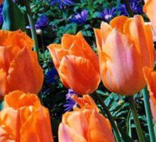 Orange Tulips - Keukenhof Gardens, Holland Sticker
