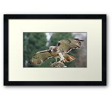 Red Tailed Hawk & Hare Framed Print