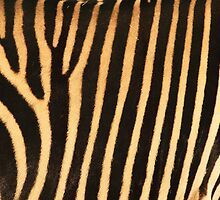 Grevy Zebra Design by Franco De Luca Calce