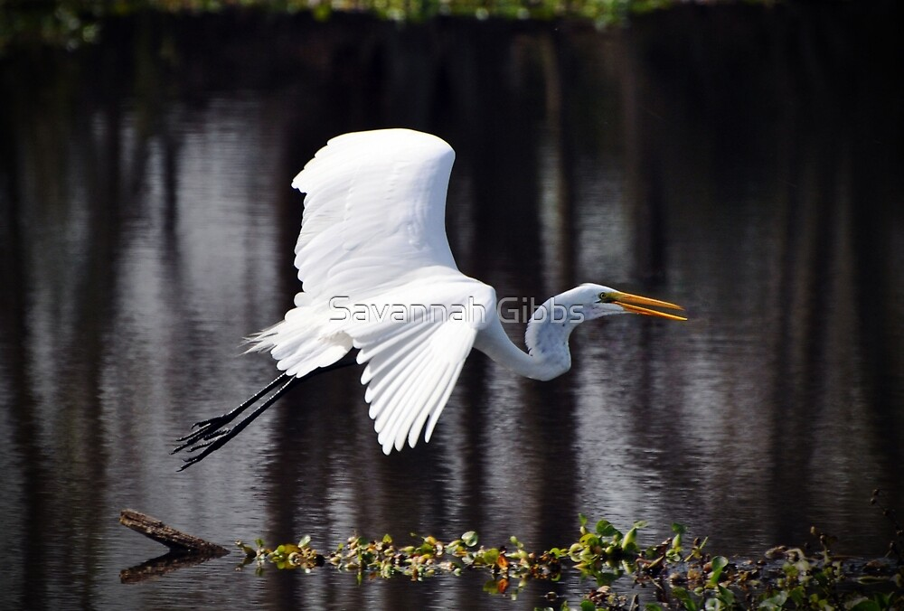 Great Egret in Flight by Savannah Gibbs