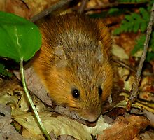 A Cute Little Woodland Jumping Mouse by Robert Miesner