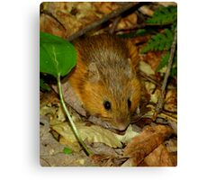 A Cute Little Woodland Jumping Mouse Canvas Print