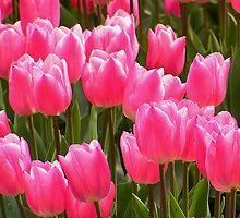 tulips by Jon  Solis