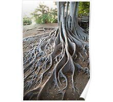 Fig Tree Roots, Balboa Park, San Diego CA. Poster