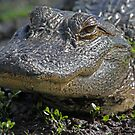 Young gator up close! by jozi1