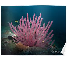 Soft Coral, USAT liberty Tulumben Poster