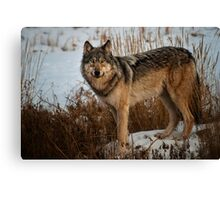 My First Wolf Photograph Canvas Print