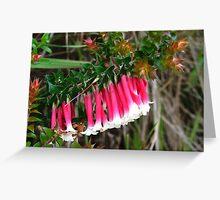 Fuchsia heath or Christmas bells, Epacris longiflora Greeting Card