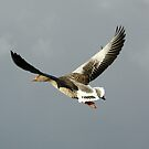 Greylag Goose by dilouise