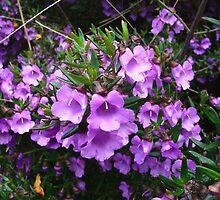 Mint Bush, Prostanthera scutellarioides by orkology