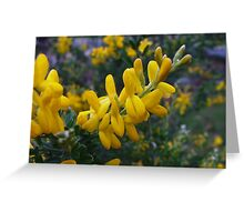 Scotch broom, Cytisus racemosus nana Greeting Card