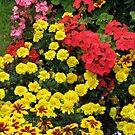 Red Geraniums and Yellow Marigolds by kathrynsgallery
