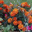 Orange Marigolds by kathrynsgallery