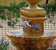 Thirsty Galah by bobby1