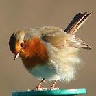 Fluffy Robin by steveransome