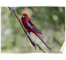 Rosella on Branch Poster