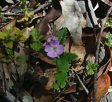 Hairy speedwell, Veronica calycina by orkology