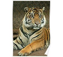 Honolulu Zoo: Sumatran Tiger Poster