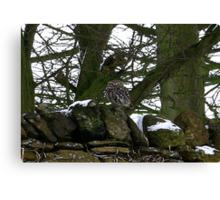 Little Owl/non captive Canvas Print