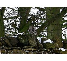 Little Owl/non captive Photographic Print