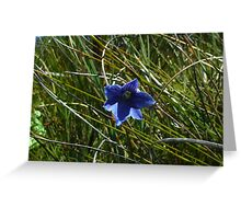 Striped sun orchid (Thelymitra venosa) in habitat Greeting Card