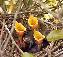 Hungry Baby Mocking Birds by genez