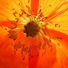 Cross Poppy by grarbaleg