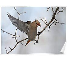Avian Angel / Bohemian Waxwing Poster