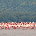 Flamingo Panorama by Malcolm1841