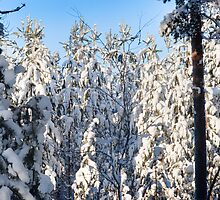 A Birch On White Pines by finnarct
