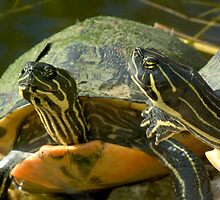 """Sticking Their Necks Out"" - red-bellied turtles by John Hartung"
