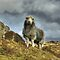 The Herdwick In The Lake District
