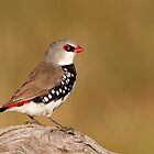Diamond Firetail by Simon Bennett