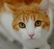 Softy Cat by montserrat
