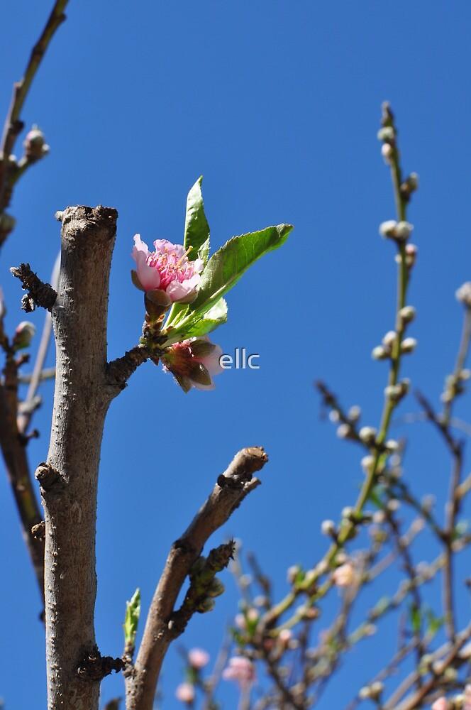 Peach Blossom by ellc