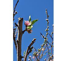 Peach Blossom Photographic Print