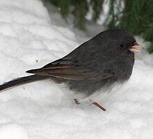 Dark-eyed Junco Beneath Snowy Pine by Robert Miesner