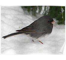 Dark-eyed Junco Beneath Snowy Pine Poster