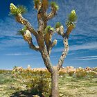 A Joshua Tree in Joshua Tree National Park by Randall Nyhof