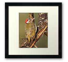 Bearded Woodpecker Framed Print