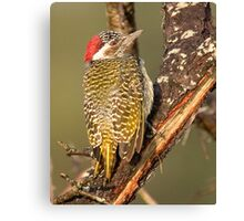 Bearded Woodpecker Canvas Print