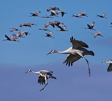 Sandhill Cranes in Flight by Randall Nyhof