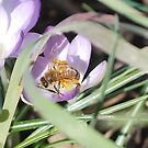 MyFirst Bee of Feb  2011 by Barbara Anderson